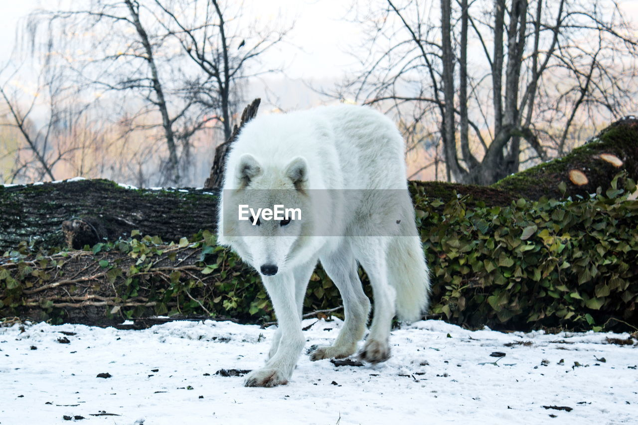 one animal, winter, cold temperature, snow, animal themes, white color, mammal, animals in the wild, bare tree, outdoors, nature, day, standing, tree, no people, beauty in nature
