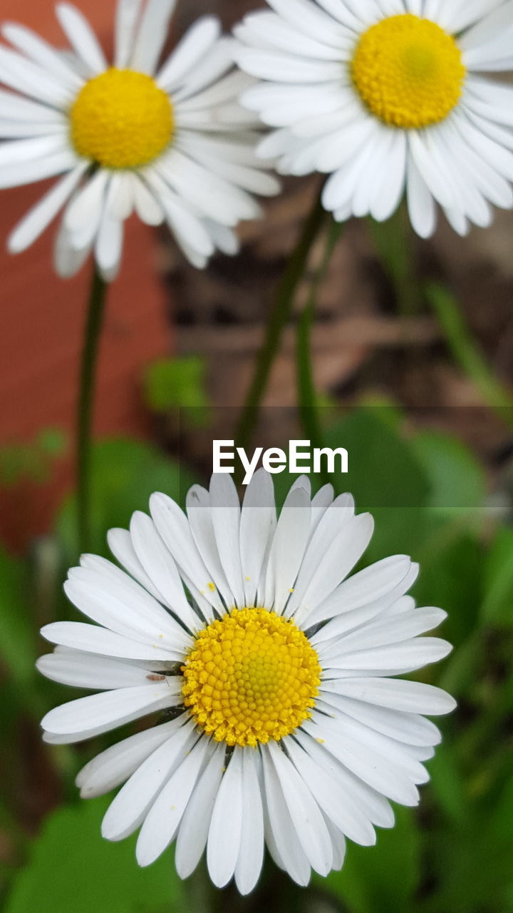 flower, petal, fragility, yellow, flower head, beauty in nature, nature, white color, freshness, pollen, growth, daisy, blooming, close-up, plant, outdoors, focus on foreground, springtime, day, no people, cosmos flower