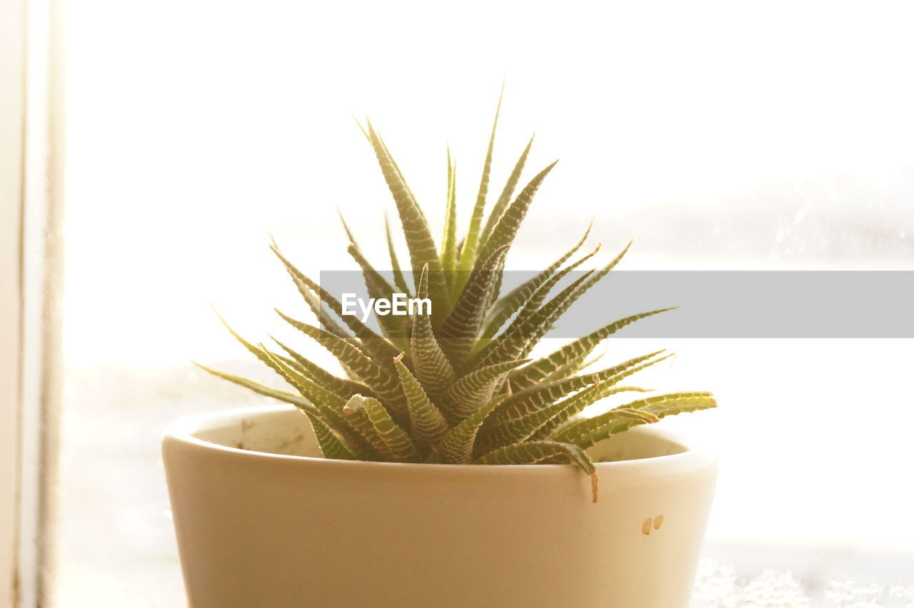 close-up, growth, potted plant, succulent plant, plant, cactus, nature, no people, focus on foreground, indoors, day, green color, thorn, spiked, beauty in nature, window, still life, cold temperature, freshness, houseplant, flower pot