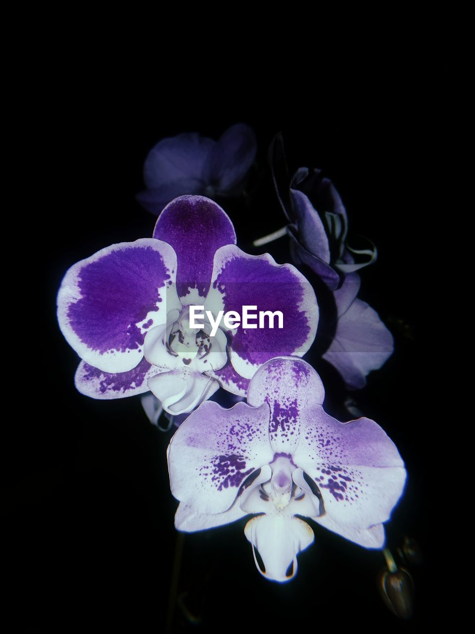 flower, flowering plant, fragility, vulnerability, petal, beauty in nature, plant, black background, studio shot, flower head, freshness, inflorescence, purple, close-up, growth, indoors, nature, no people, night, orchid, pollen