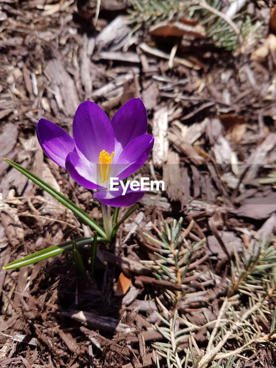 flowering plant, flower, plant, petal, freshness, beauty in nature, growth, vulnerability, fragility, close-up, nature, inflorescence, flower head, land, purple, crocus, field, iris, no people, high angle view, pollen, outdoors