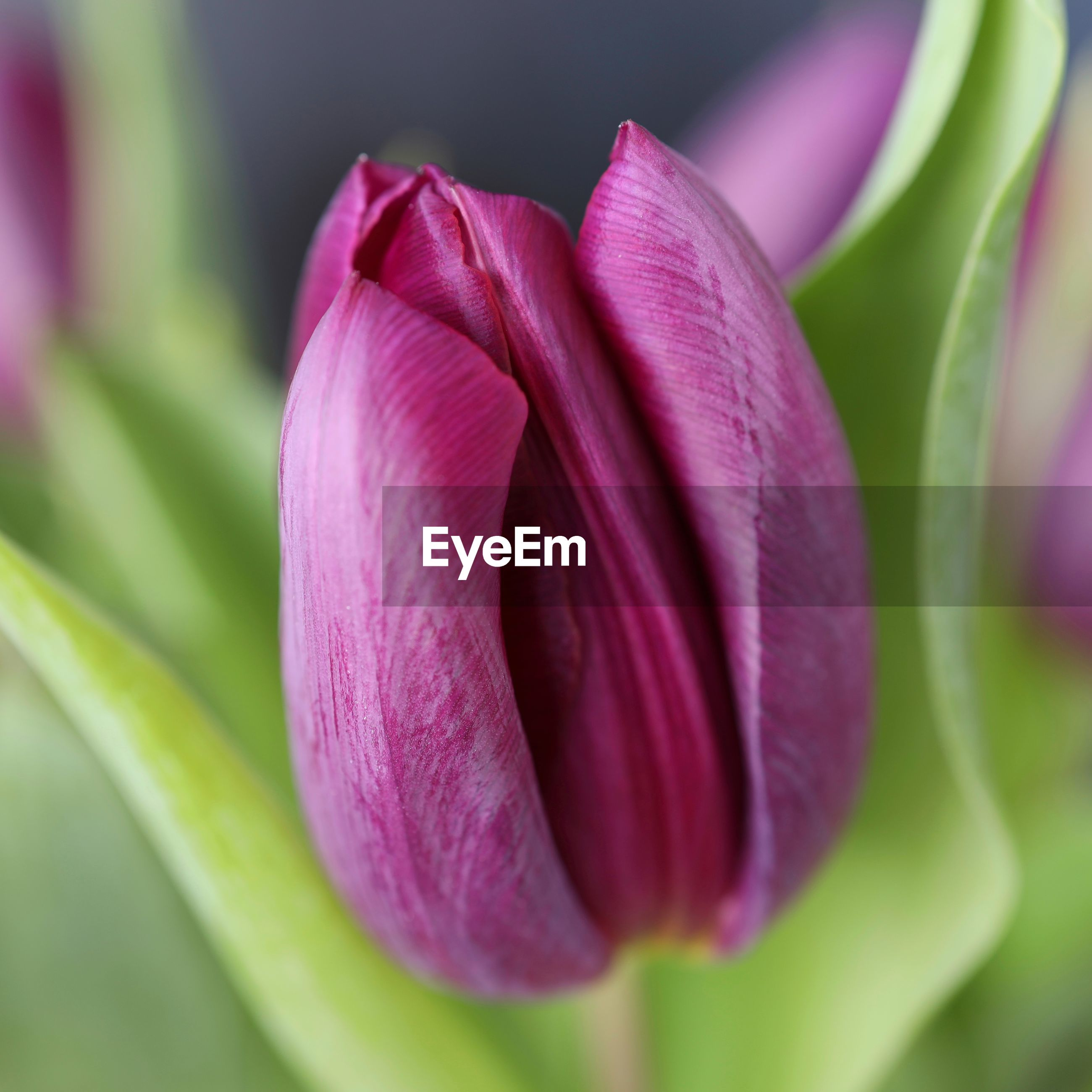 CLOSE-UP OF PINK TULIP ON PURPLE FLOWER