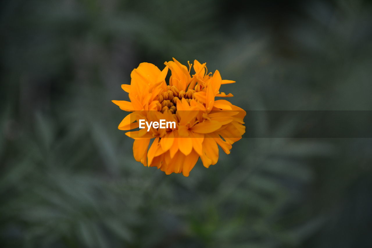 flowering plant, flower, beauty in nature, fragility, vulnerability, plant, freshness, flower head, petal, inflorescence, close-up, growth, orange color, yellow, nature, focus on foreground, day, marigold, no people, outdoors, pollen, gazania