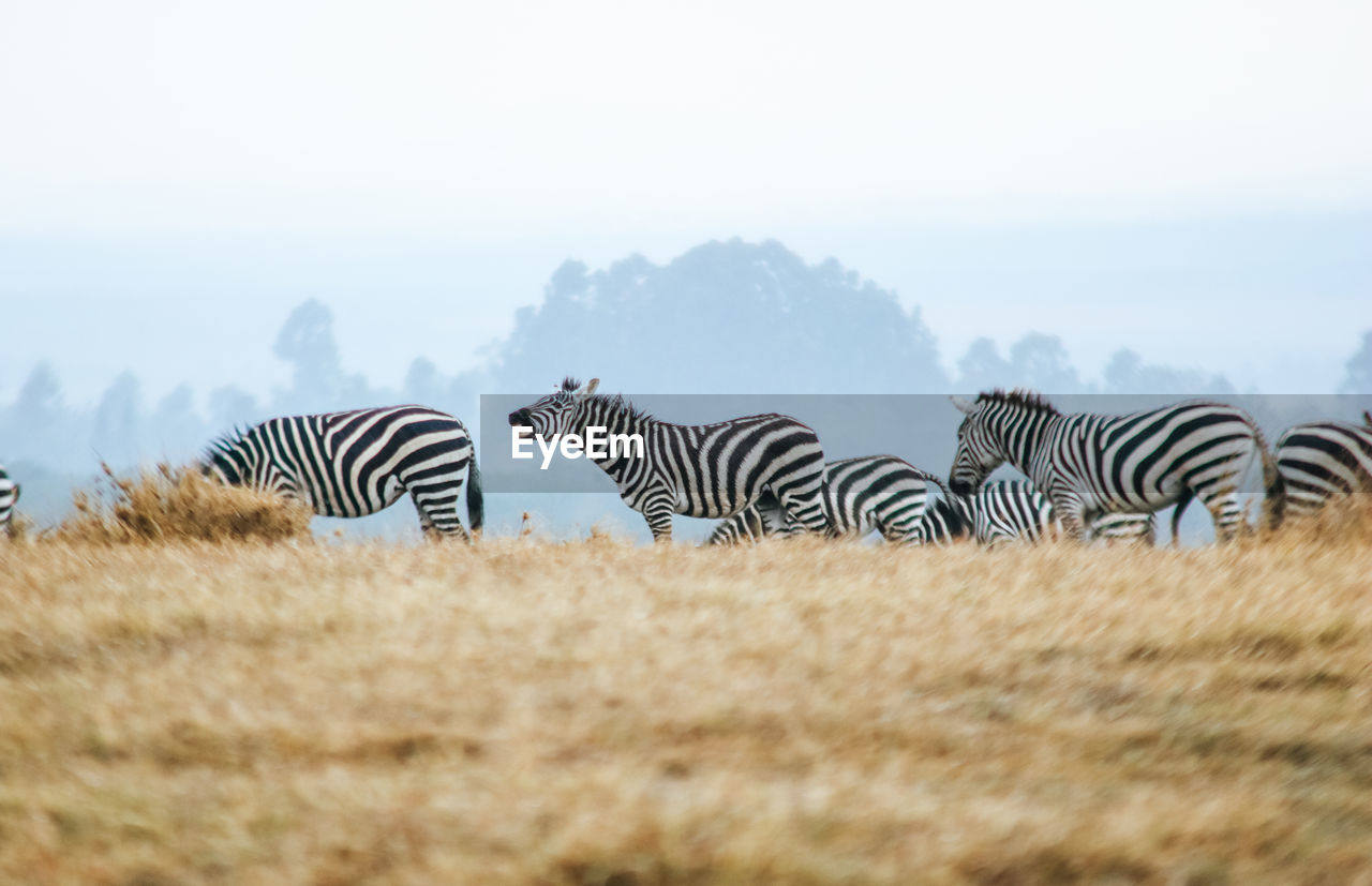 striped, zebra, land, field, sky, no people, animal wildlife, group of animals, animals in the wild, nature, animal themes, beauty in nature, animal, day, plant, selective focus, mammal, environment, landscape, grass, herd