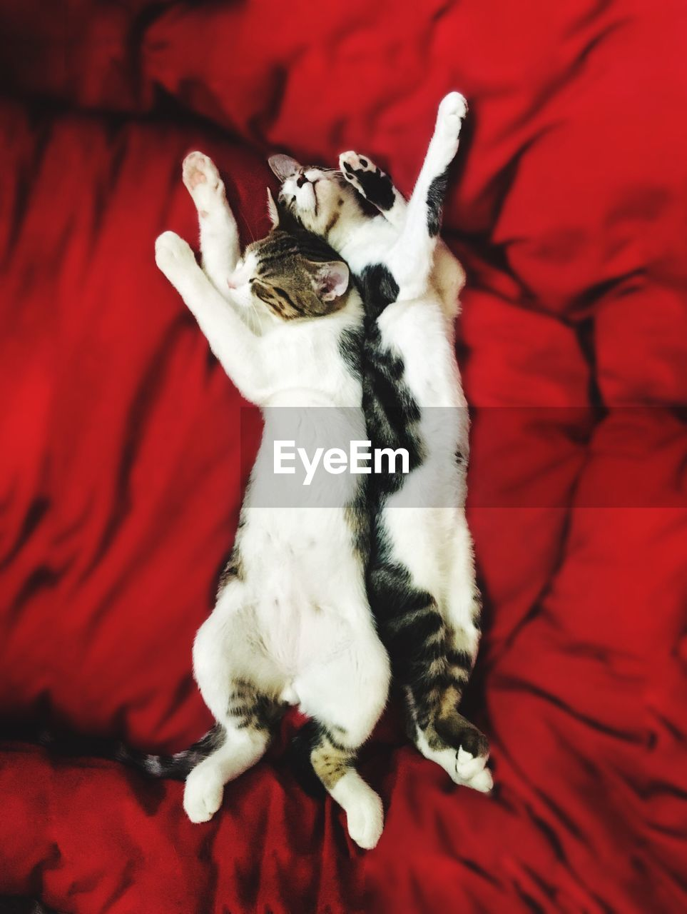 mammal, pets, domestic animals, animal themes, domestic, animal, one animal, vertebrate, red, furniture, bed, indoors, lying down, cat, domestic cat, no people, relaxation, feline, high angle view, white color, mouth open