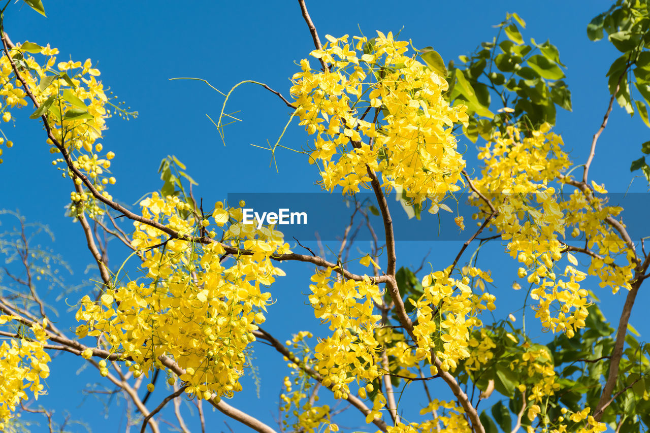 plant, growth, flower, flowering plant, beauty in nature, yellow, low angle view, tree, sky, fragility, vulnerability, branch, freshness, day, clear sky, nature, no people, blue, sunlight, close-up, outdoors, springtime