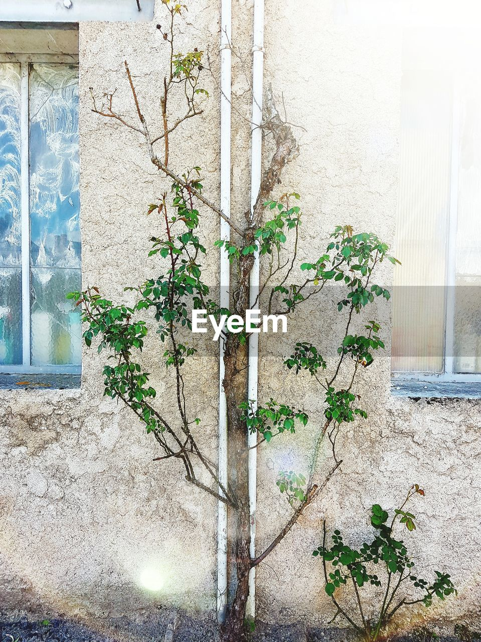 plant, growth, architecture, wall - building feature, built structure, ivy, building exterior, green color, day, creeper, growing, creeper plant, no people, leaf, potted plant, outdoors, nature, tree, branch, close-up