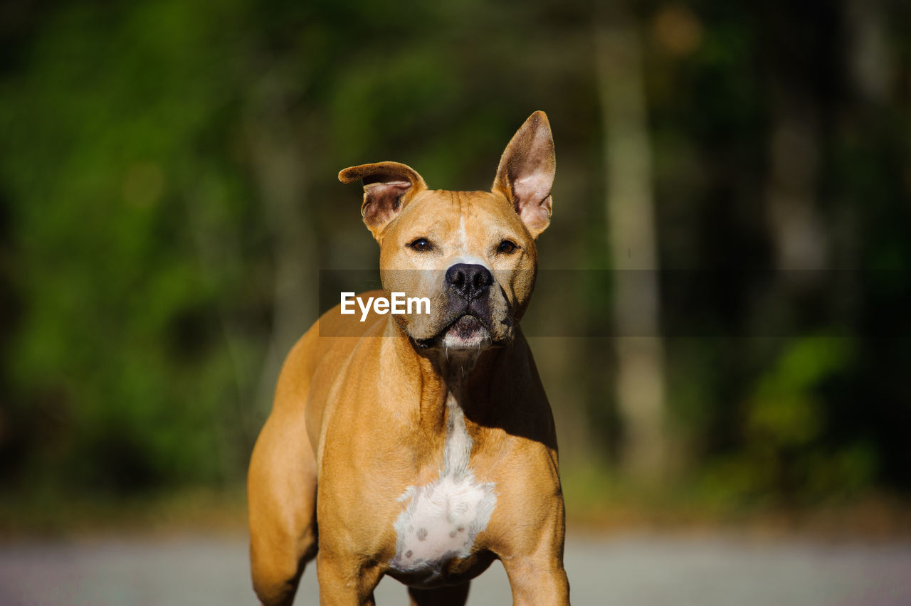 Portrait Of Brown Dog Running