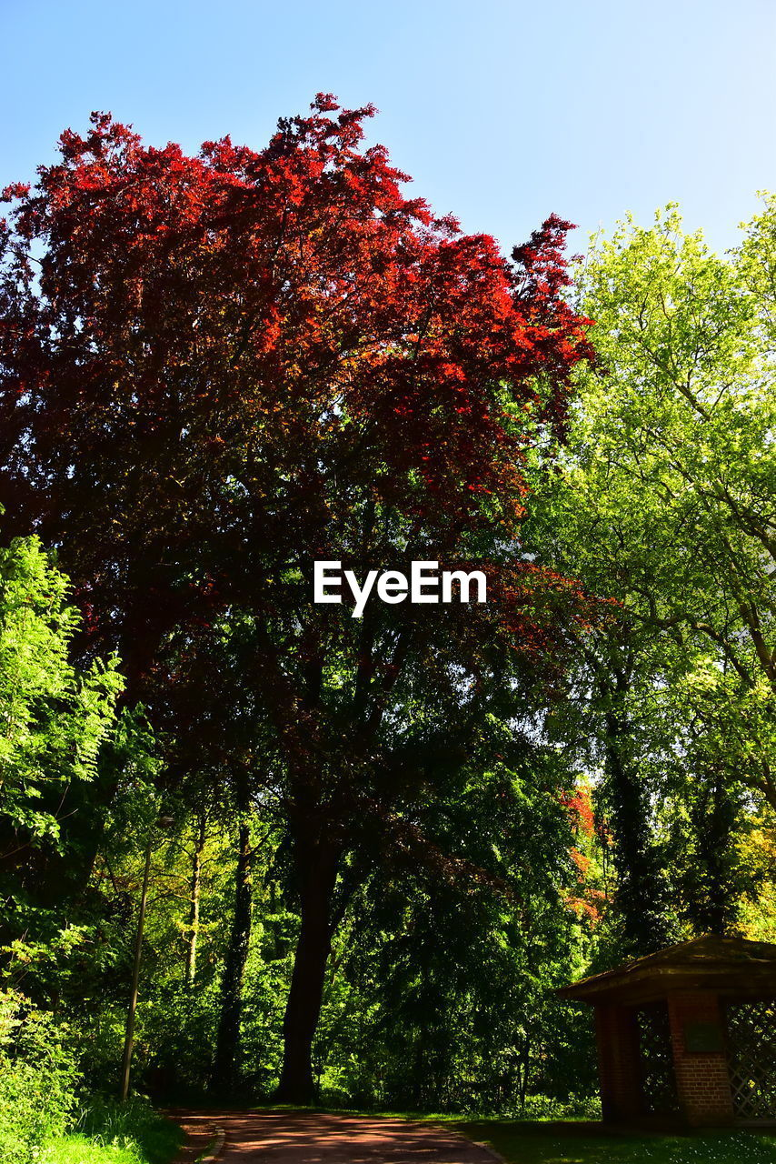 tree, plant, growth, nature, beauty in nature, sky, no people, day, tranquility, low angle view, outdoors, clear sky, autumn, sunlight, green color, red, change, branch, land, scenics - nature