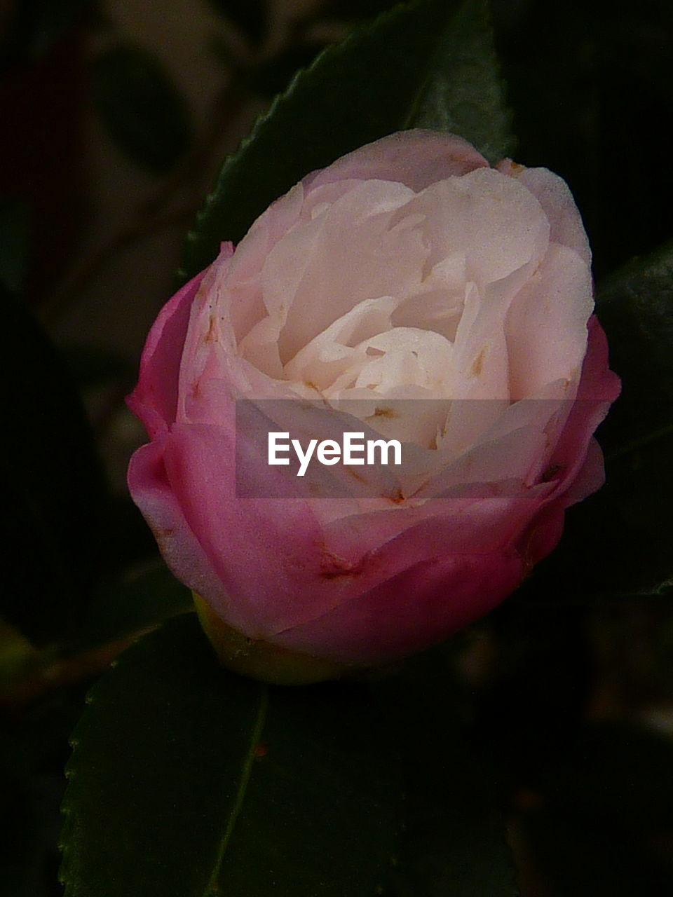flower, petal, nature, beauty in nature, flower head, close-up, pink color, fragility, plant, rose - flower, growth, no people, outdoors, freshness, day, blooming, peony