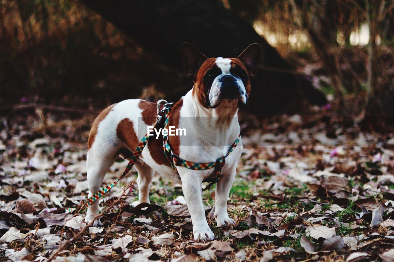 domestic animals, domestic, one animal, pets, canine, dog, animal themes, mammal, animal, vertebrate, land, plant part, leaf, nature, standing, portrait, collar, no people, pet collar, field, change, outdoors, jack russell terrier, leaves, mouth open