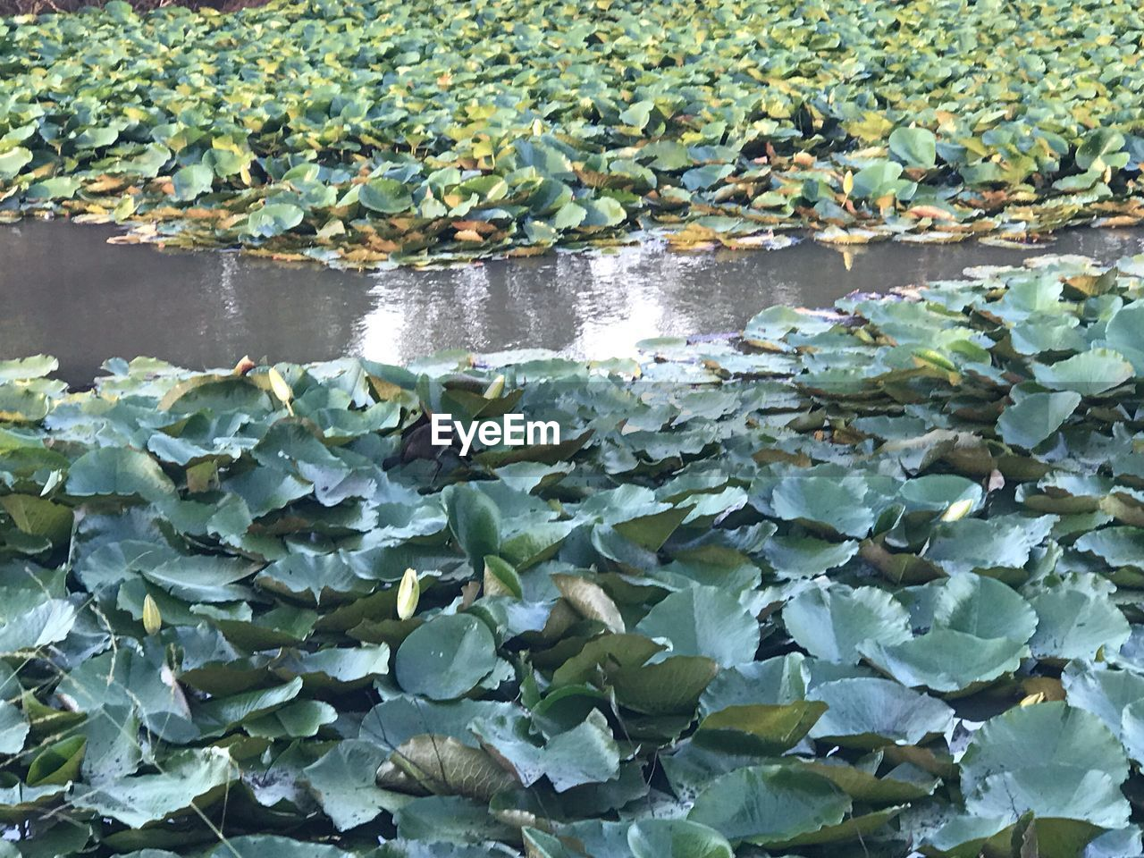 leaf, water, plant part, plant, nature, day, beauty in nature, growth, floating, green color, no people, lake, water lily, floating on water, outdoors, flower, close-up, leaves, high angle view