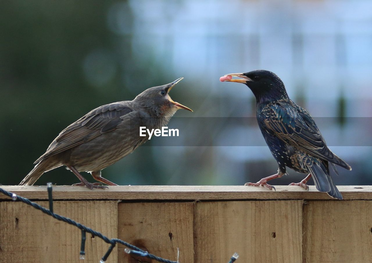 Close-up of starlings perching on wooden fence