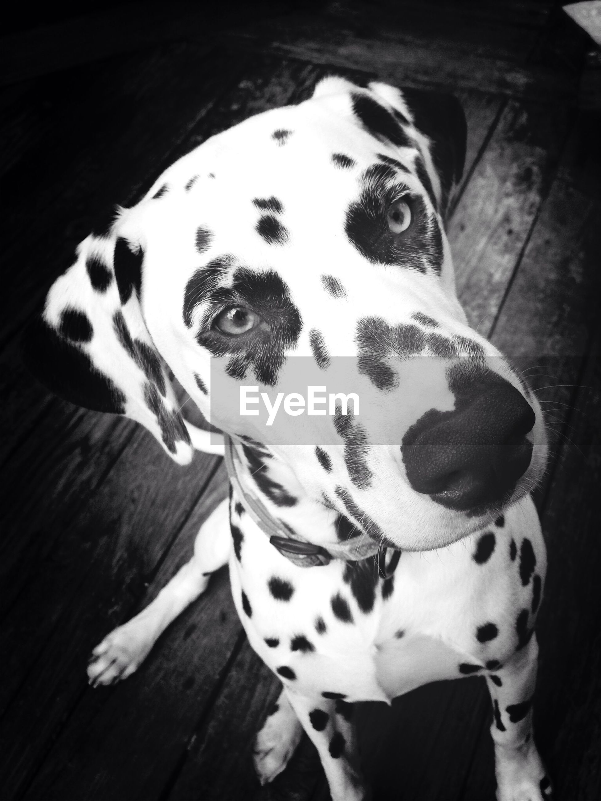 Portrait of dalmatian dog