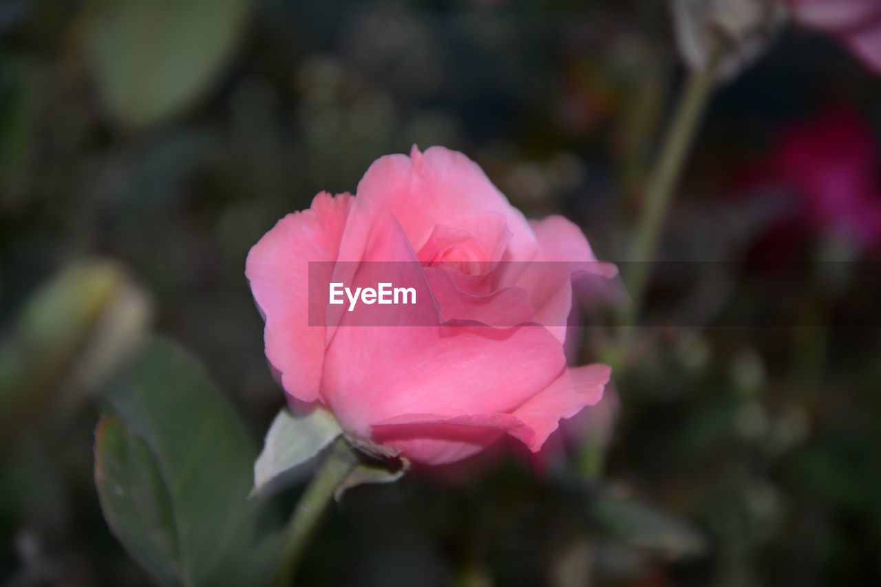 flower, petal, pink color, fragility, nature, flower head, rose - flower, beauty in nature, no people, growth, freshness, plant, blooming, outdoors, close-up, focus on foreground, day