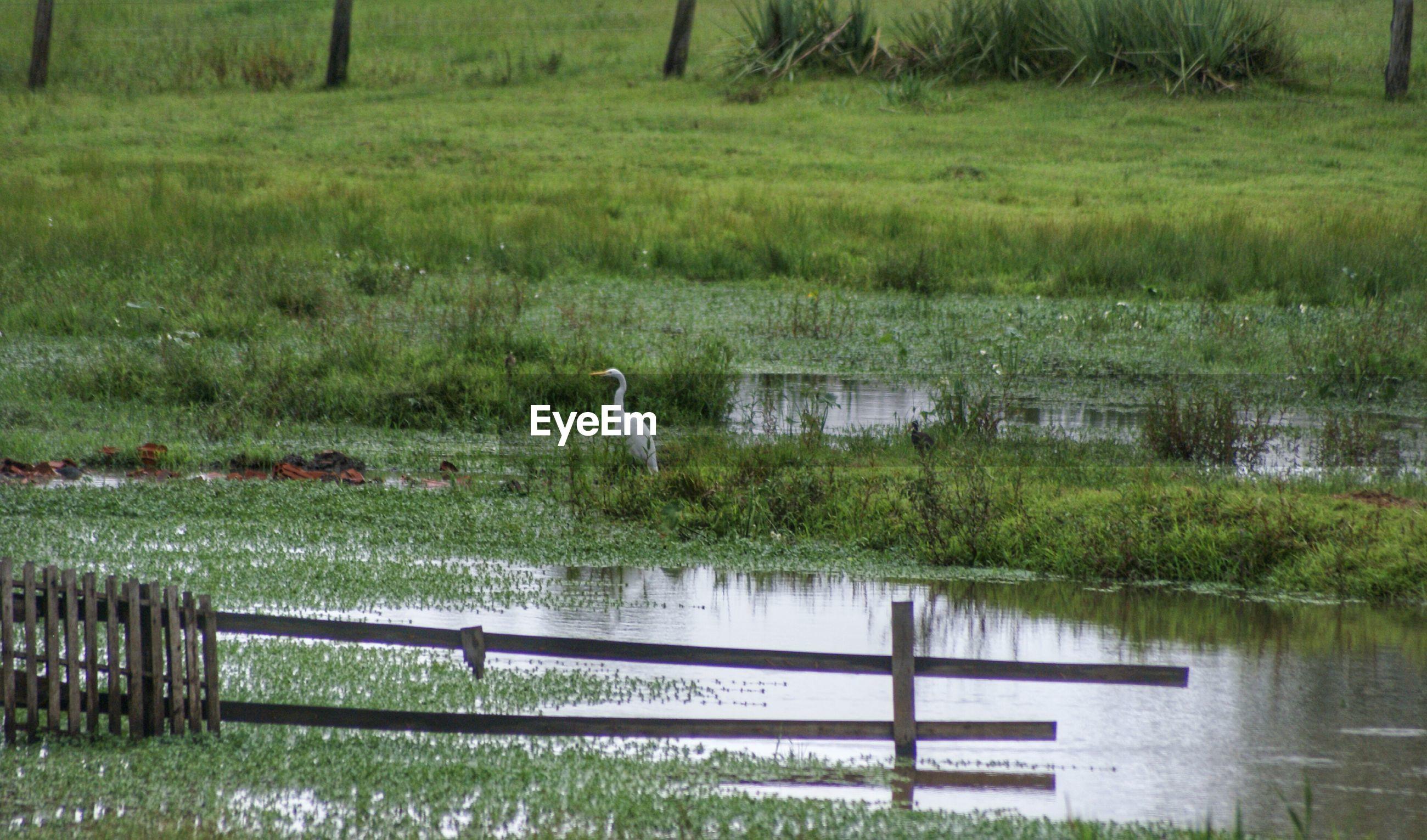 White heron in marshy land