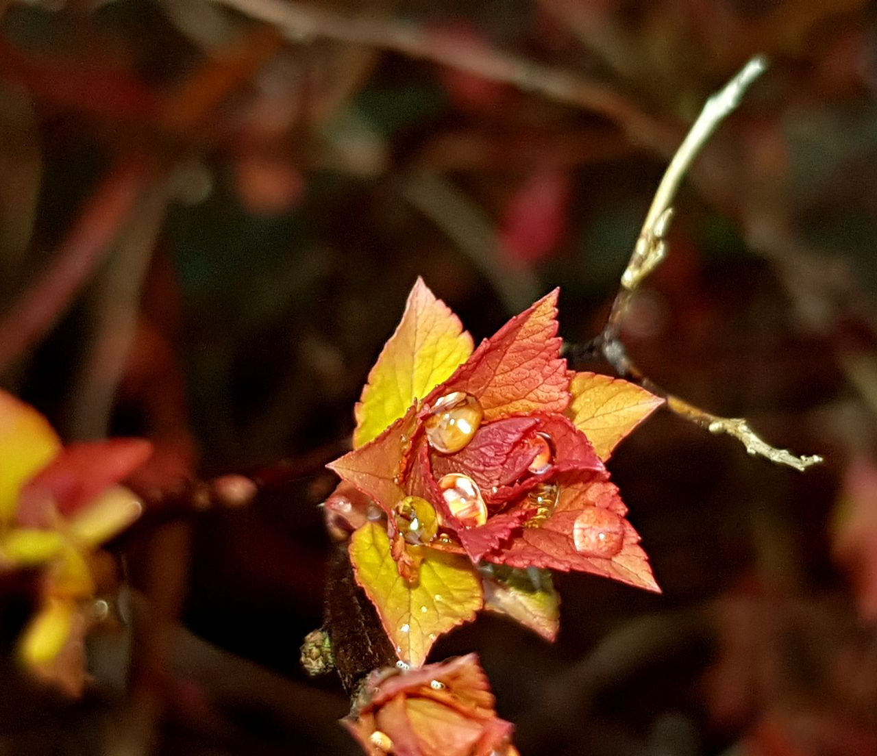 plant part, close-up, leaf, plant, beauty in nature, focus on foreground, nature, no people, autumn, growth, day, vulnerability, fragility, change, outdoors, selective focus, dry, leaves, drop, flower head, maroon, maple leaf, natural condition, flower