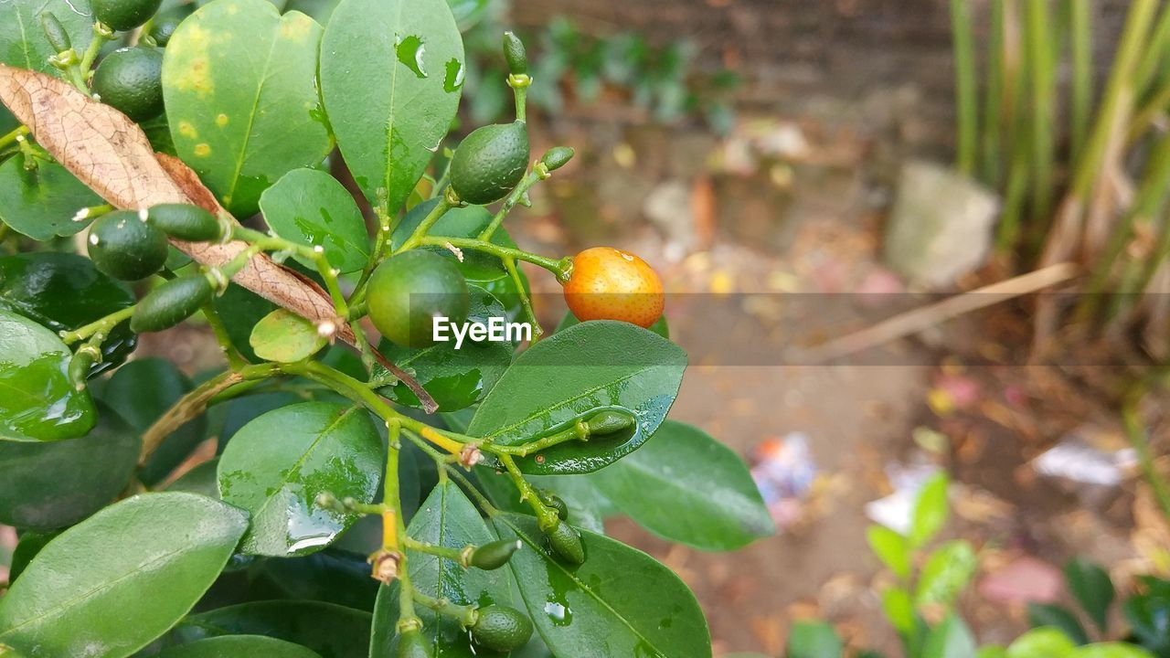 leaf, growth, food and drink, green color, fruit, freshness, food, nature, plant, day, no people, outdoors, healthy eating, close-up, beauty in nature