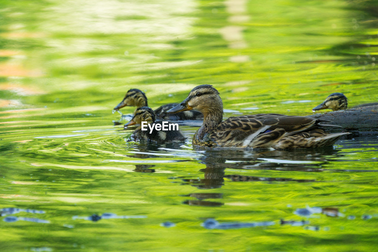 animal, animal wildlife, animals in the wild, animal themes, group of animals, water, young animal, lake, young bird, swimming, vertebrate, animal family, bird, nature, no people, duck, waterfront, day, duckling, outdoors, gosling