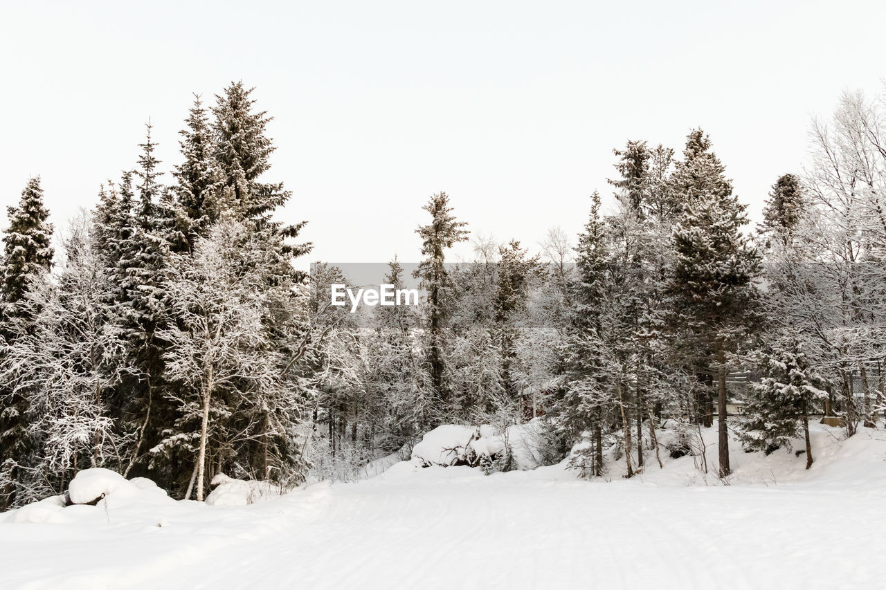 snow, tree, plant, cold temperature, winter, tranquility, beauty in nature, tranquil scene, land, covering, nature, scenics - nature, no people, growth, sky, field, white color, non-urban scene, day, pine tree, coniferous tree, snowing