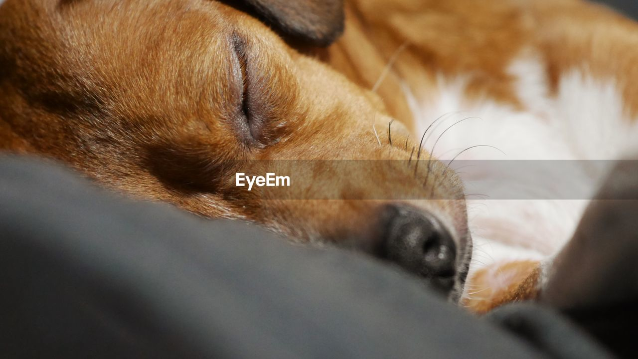 mammal, one animal, domestic, pets, animal themes, animal, canine, dog, domestic animals, vertebrate, animal body part, selective focus, close-up, animal head, no people, indoors, relaxation, brown, eyes closed, bed, snout, animal nose, whisker