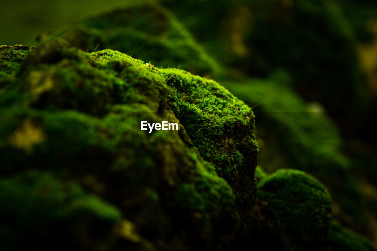 green color, moss, selective focus, plant, close-up, no people, beauty in nature, growth, nature, day, tranquility, full frame, outdoors, tree, leaf, plant part, backgrounds, covering, focus on foreground, green, lichen