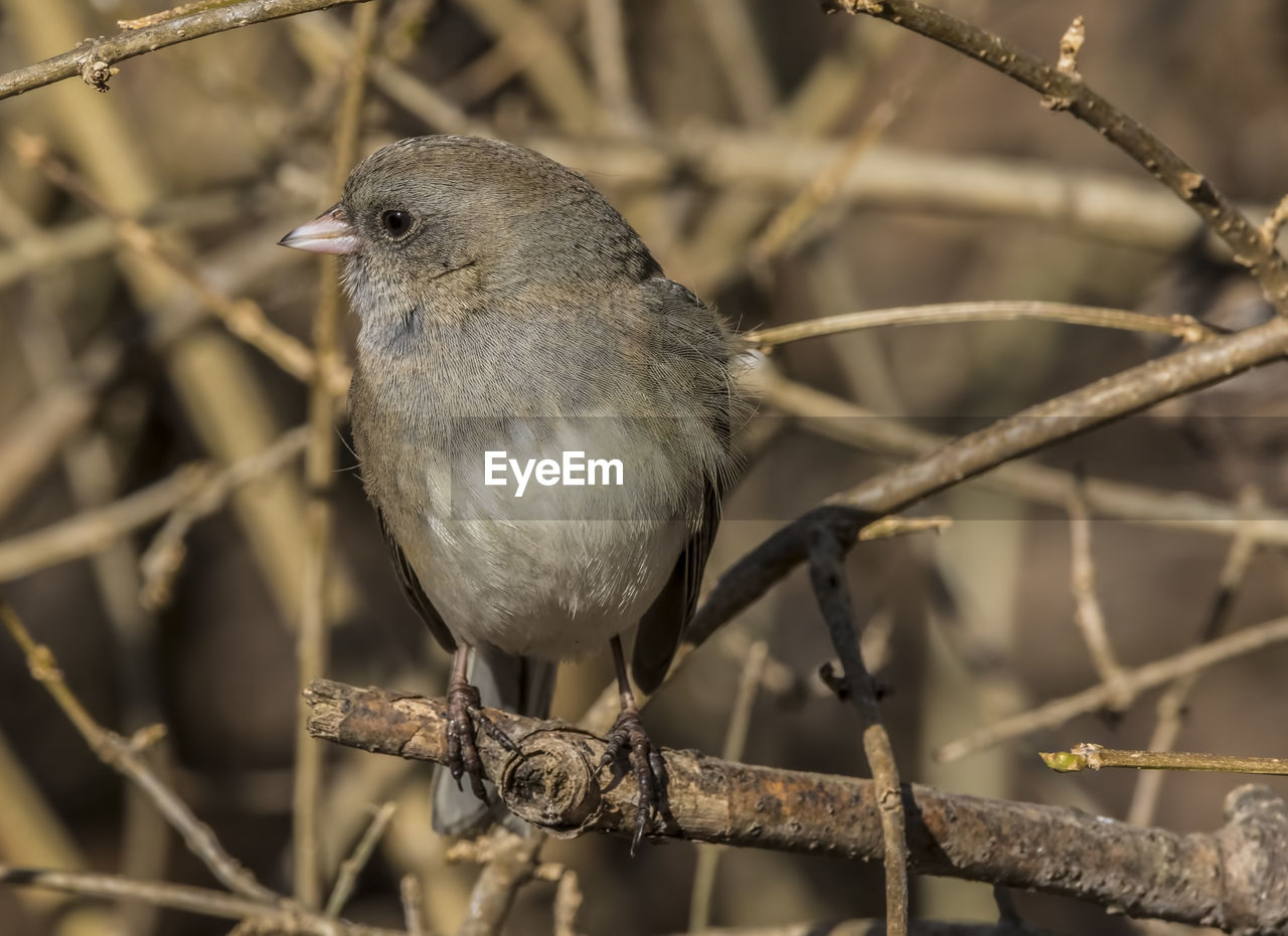 vertebrate, bird, animal themes, animal, one animal, animal wildlife, perching, animals in the wild, focus on foreground, branch, close-up, no people, day, plant, tree, nature, twig, looking, outdoors, songbird