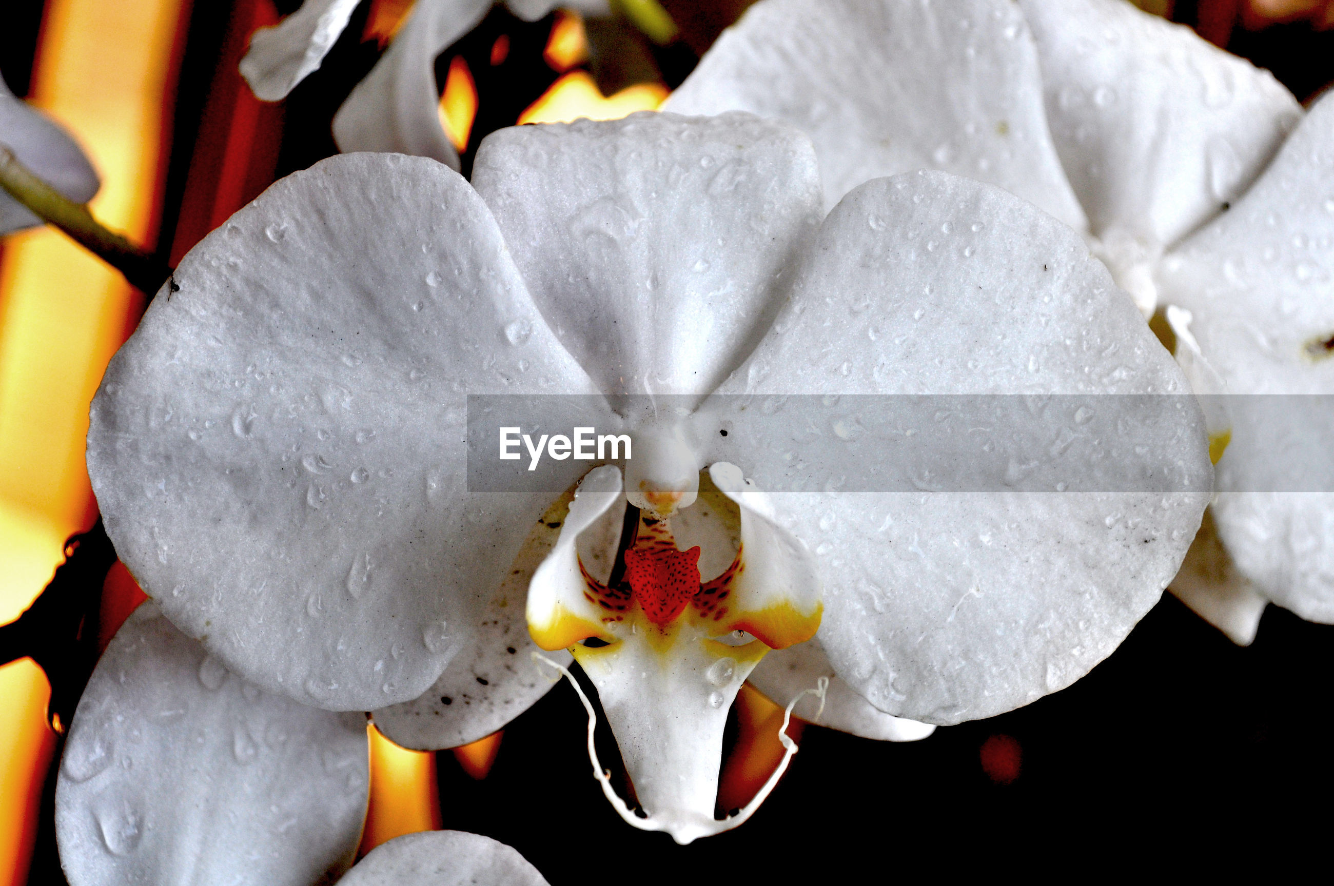 CLOSE-UP OF WHITE FLOWERS BLOOMING IN POND