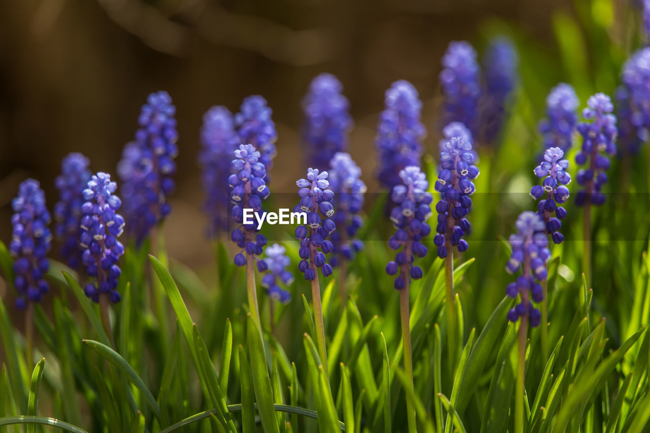 flower, plant, flowering plant, growth, freshness, beauty in nature, vulnerability, close-up, fragility, purple, selective focus, land, field, nature, day, no people, green color, inflorescence, petal, flower head