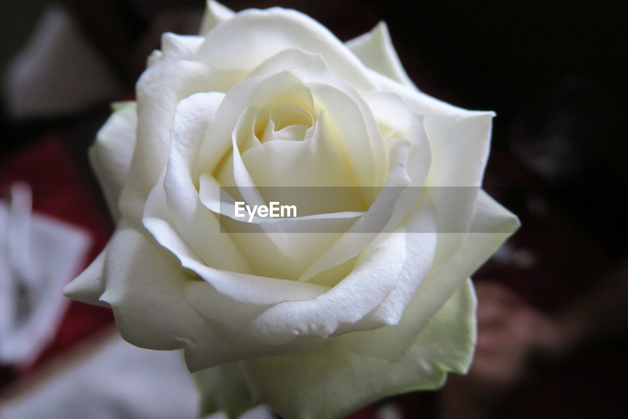 flower, petal, nature, rose - flower, flower head, fragility, beauty in nature, freshness, growth, close-up, white color, plant, blossom, blooming, outdoors, no people, rose petals, day