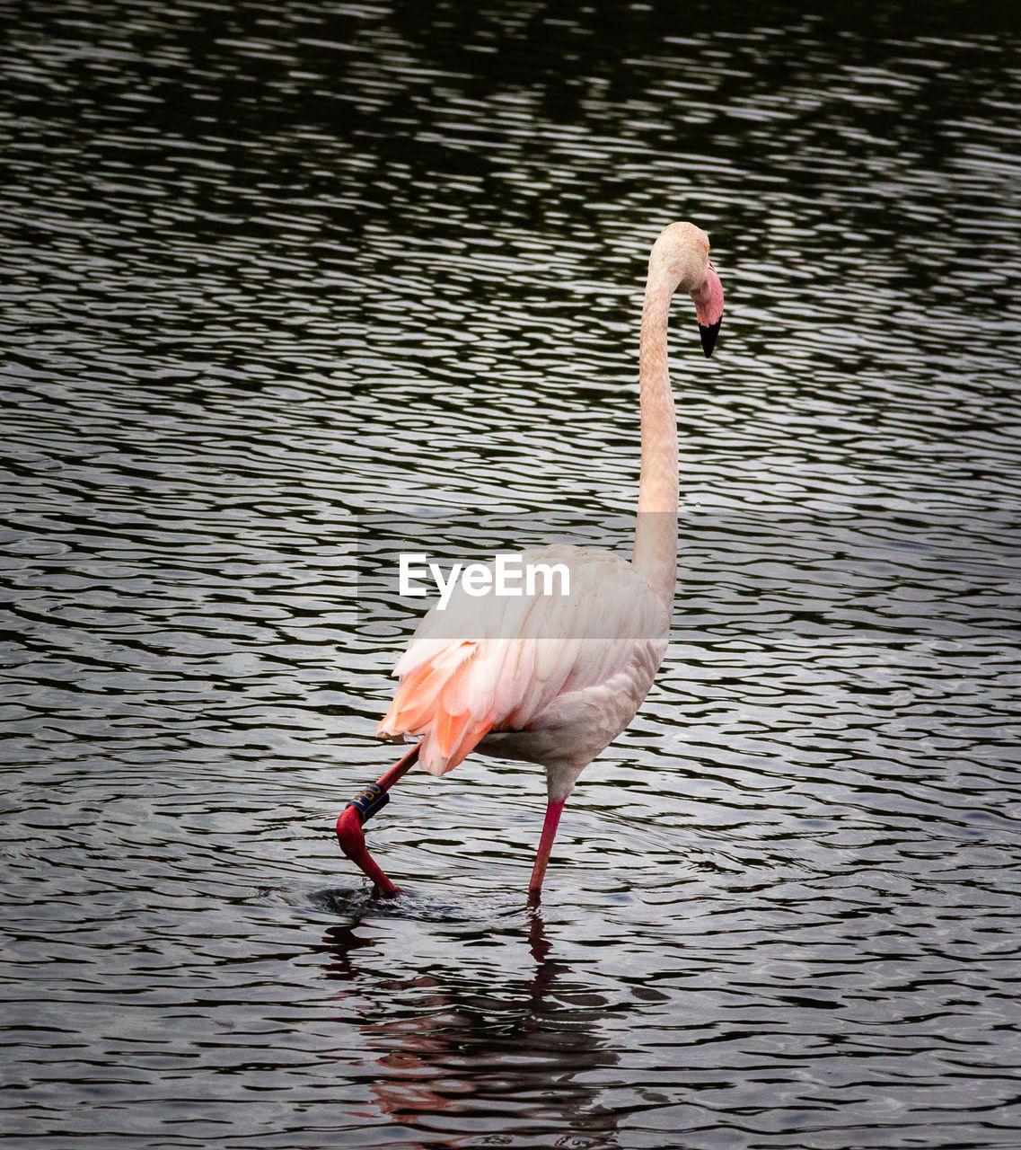 animal themes, animal, animal wildlife, animals in the wild, bird, vertebrate, water, one animal, lake, rippled, day, waterfront, no people, nature, pink color, animal body part, animal neck, outdoors, flamingo