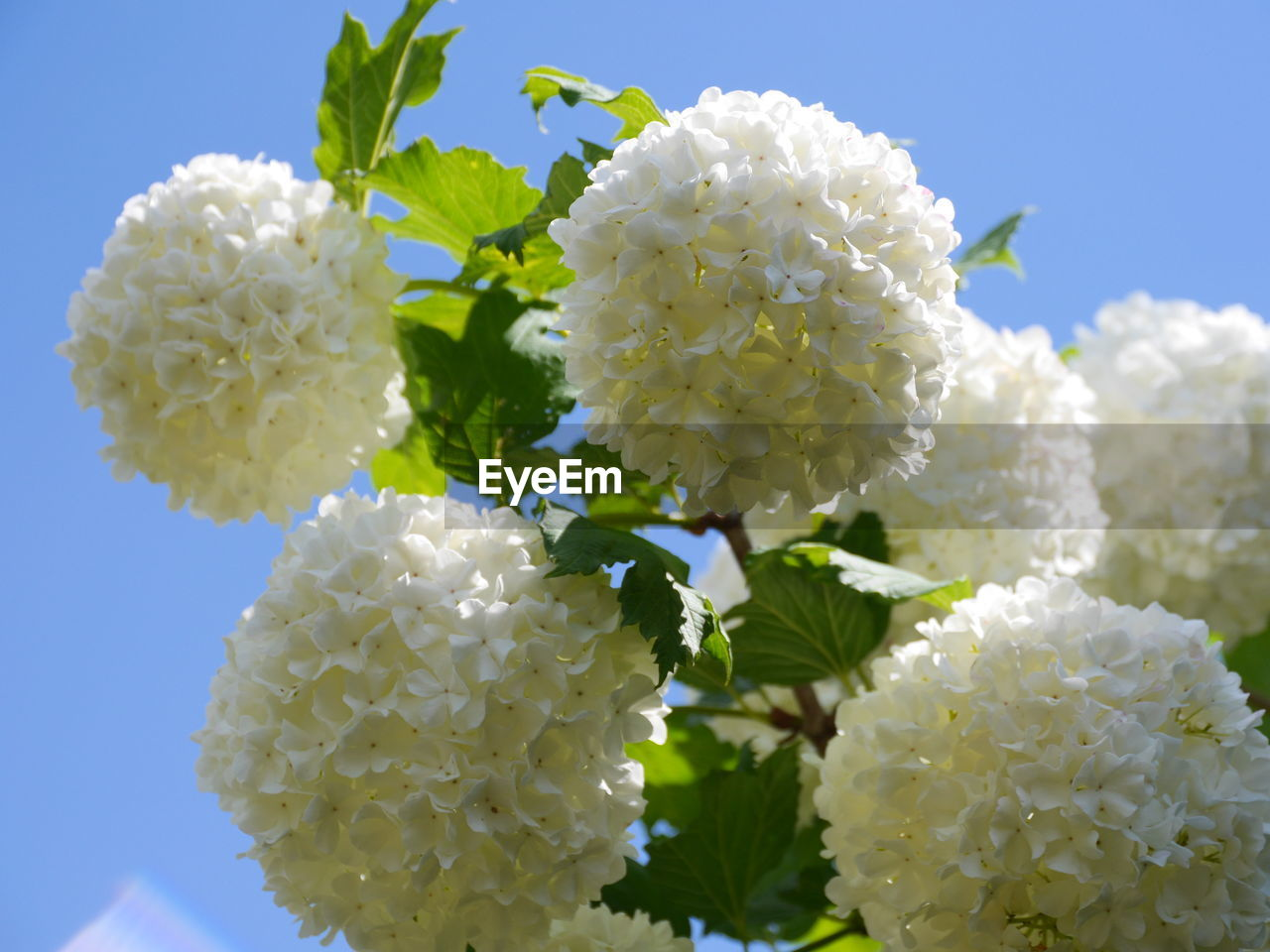 flower, growth, fragility, beauty in nature, freshness, white color, nature, petal, plant, day, flower head, blooming, outdoors, no people, close-up, lantana camara, sky