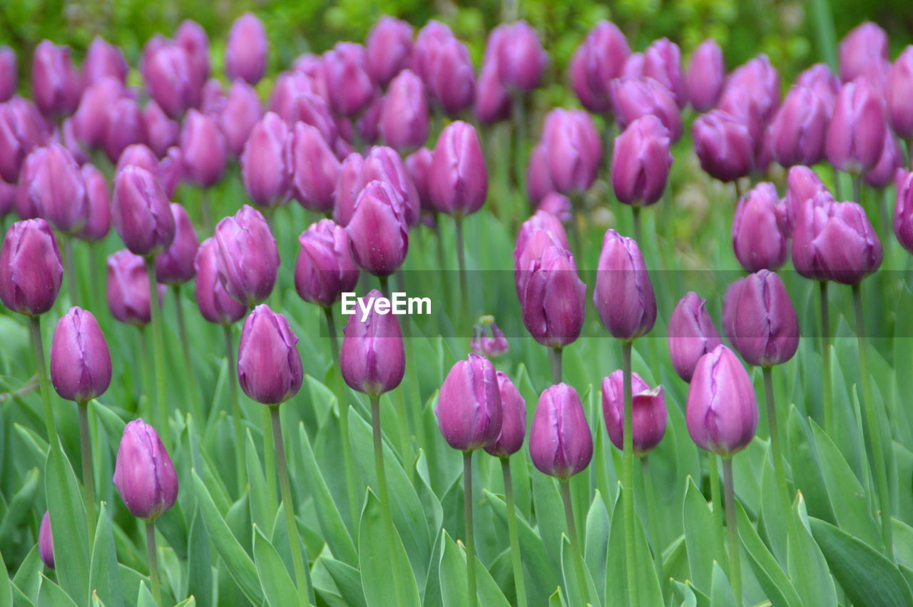Close-Up Of Pink Tulips Blooming On Field