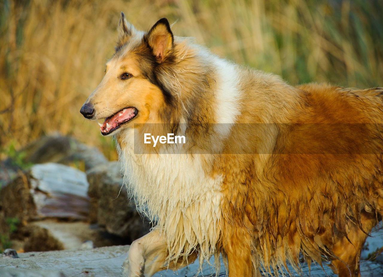 one animal, animal, mammal, animal themes, canine, dog, domestic, domestic animals, vertebrate, pets, focus on foreground, looking, looking away, no people, land, day, field, side view, hair, nature, outdoors, mouth open, animal head, profile view