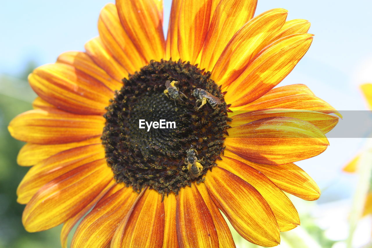 flower, petal, fragility, nature, beauty in nature, pollen, flower head, yellow, freshness, growth, close-up, no people, plant, day, outdoors, sunflower, blooming, animal themes