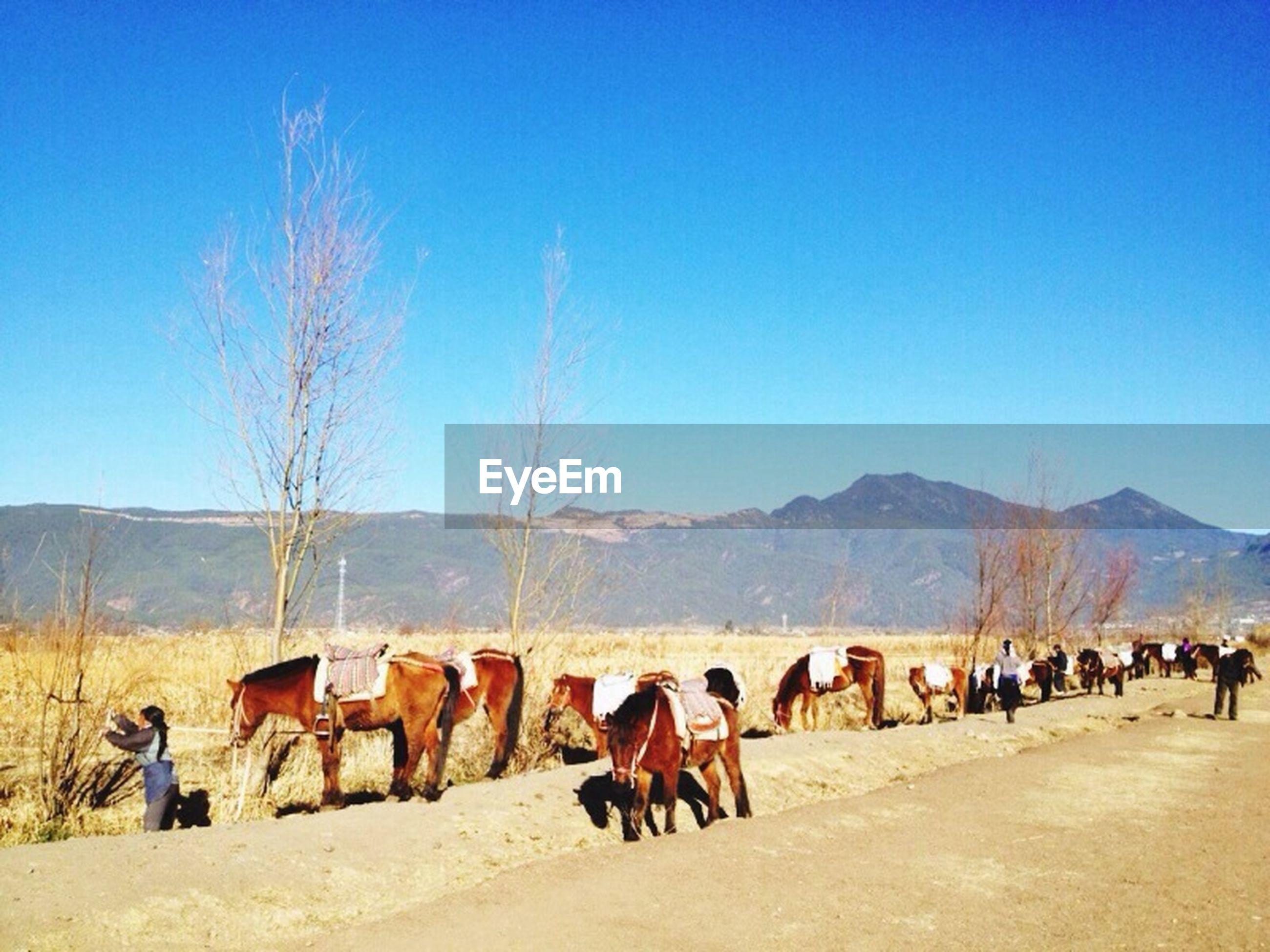 clear sky, mountain, landscape, blue, desert, mountain range, copy space, tranquil scene, arid climate, nature, livestock, tranquility, sky, non-urban scene, scenics, field, horizon over land, animal themes, sand