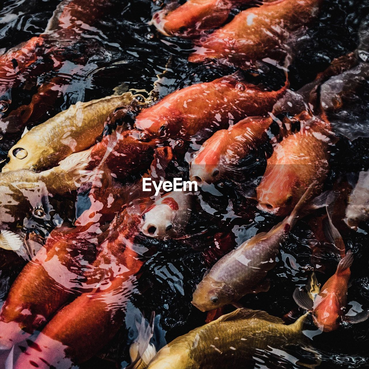 group of animals, swimming, large group of animals, carp, fish, animal, water, animal themes, koi carp, vertebrate, animal wildlife, sea, underwater, school of fish, pond, animals in the wild, marine, no people, sea life