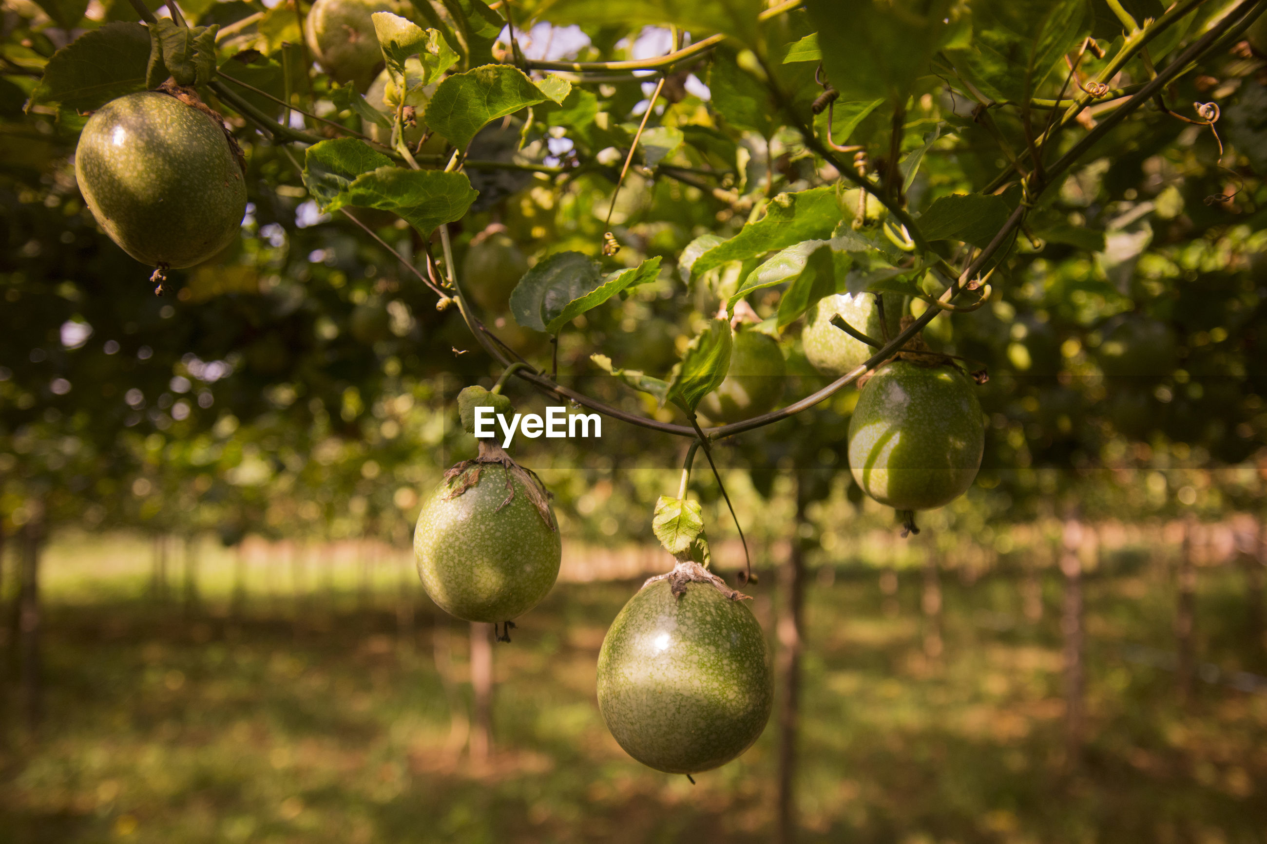 Fruits growing on tree over field