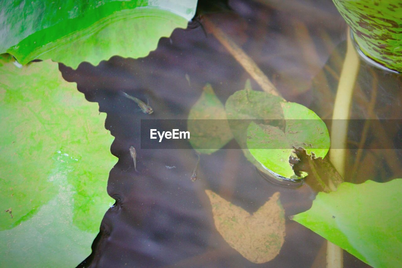plant part, leaf, water, green color, animals in the wild, animal wildlife, nature, animal themes, animal, vertebrate, lake, one animal, high angle view, no people, day, reflection, plant, close-up, outdoors, amphibian, leaves, floating on water, marine