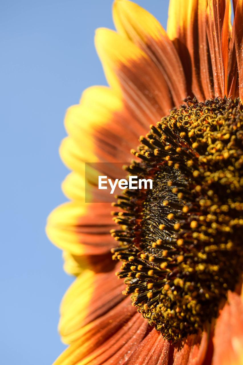 Macro Shot Of Sunflower