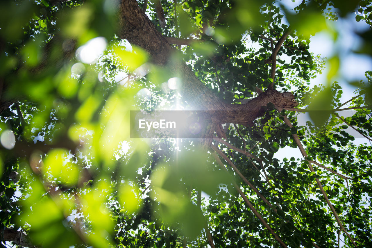 tree, plant, growth, sunlight, low angle view, branch, beauty in nature, day, green color, nature, sunbeam, no people, lens flare, outdoors, sun, tranquility, sky, leaf, plant part, streaming, bright, brightly lit, solar flare