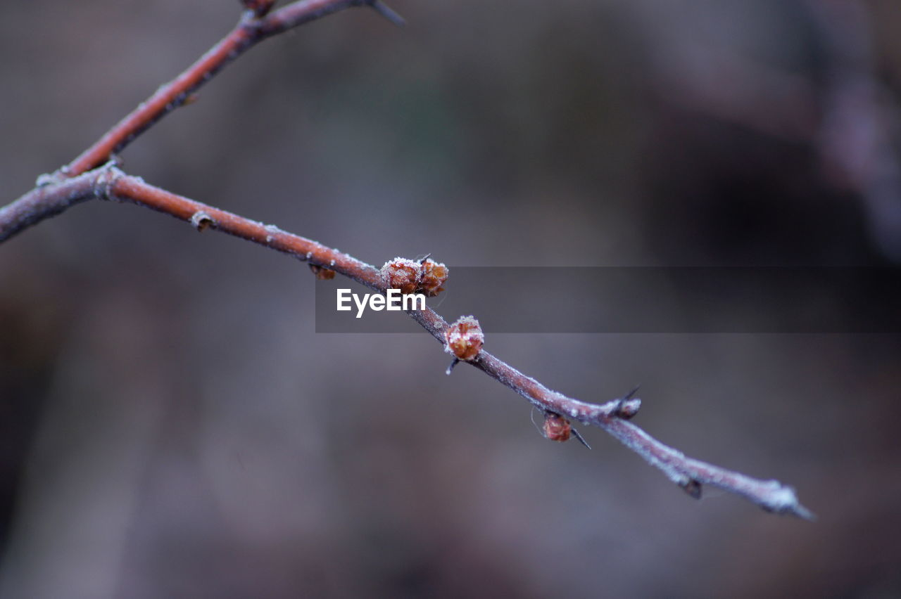 nature, twig, day, outdoors, focus on foreground, beauty in nature, plant, no people, winter, growth, cold temperature, branch, catkin, close-up, fragility