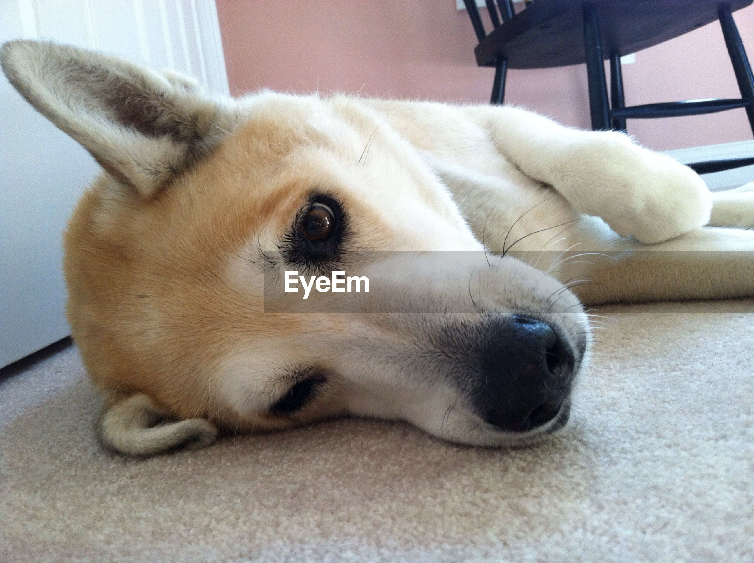 dog, pets, indoors, domestic animals, animal themes, one animal, mammal, relaxation, home interior, resting, lying down, close-up, animal head, bed, sofa, portrait, home, no people, focus on foreground, looking at camera