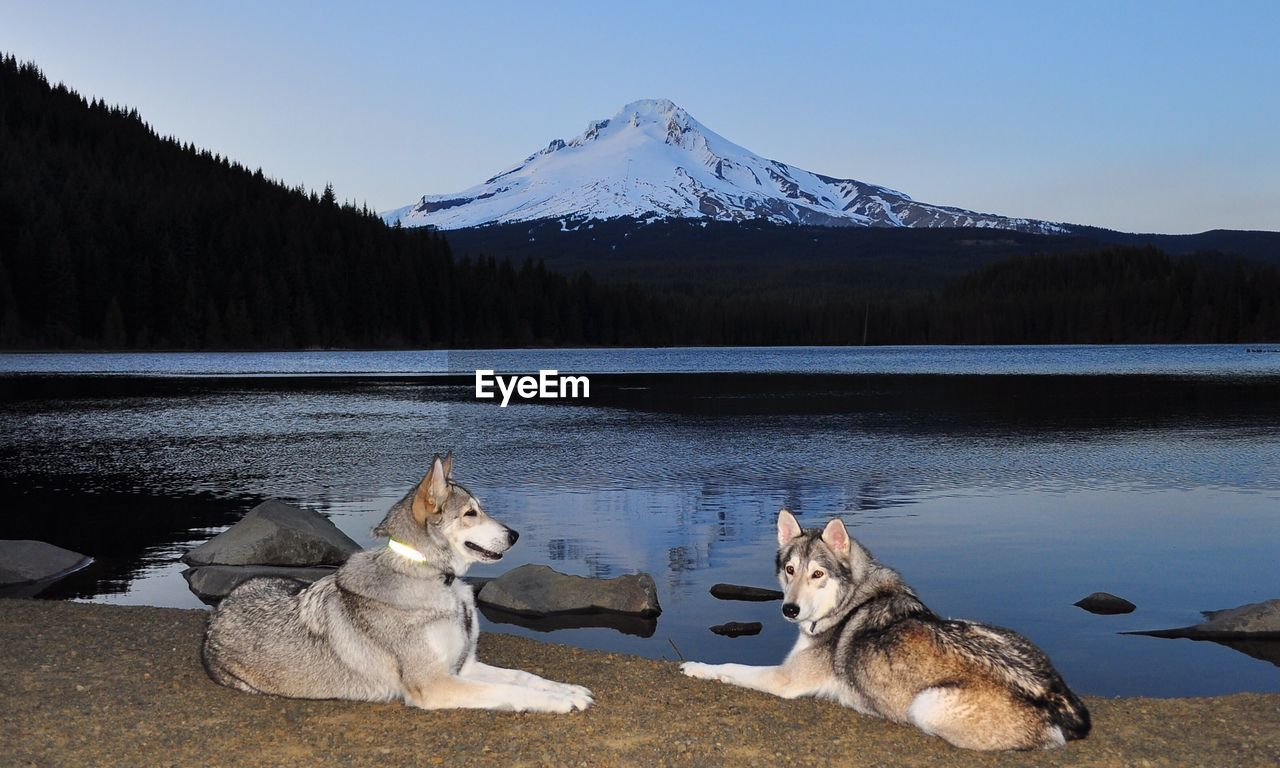 Siberian Huskies Resting Lakeshore By Snowcapped Mountain Against Sky At Dusk