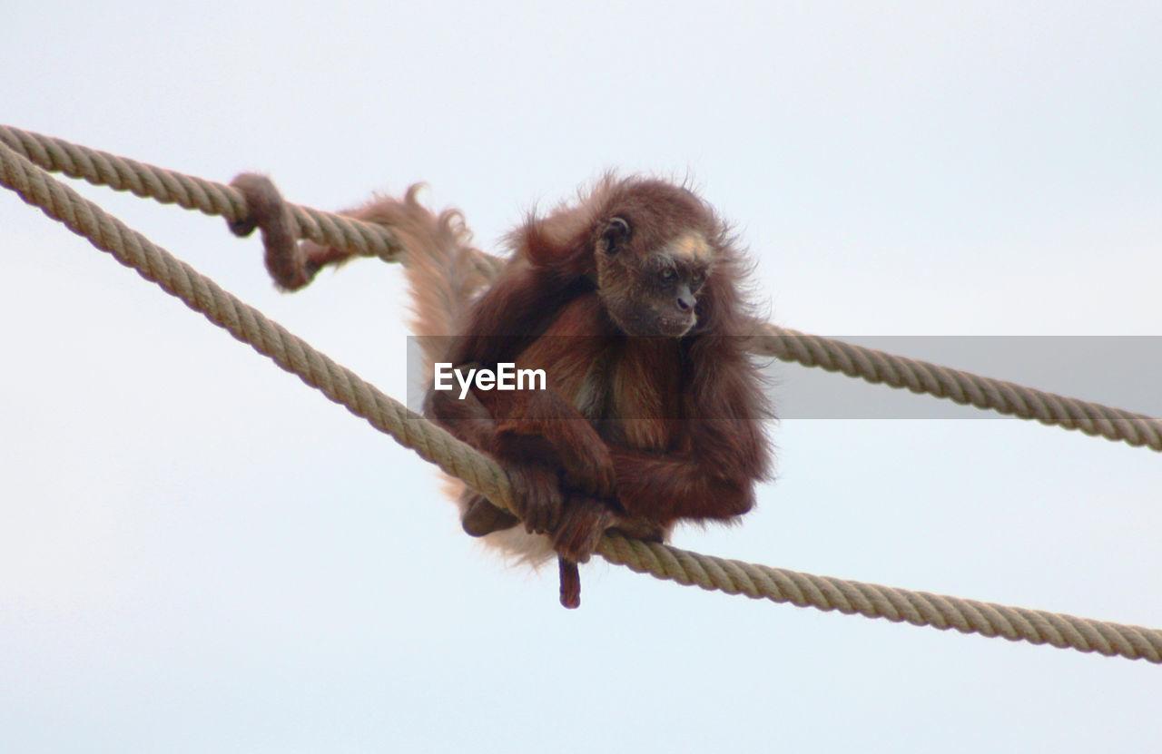 Affe Seil Rope Ape On Rope Ape Monkey Monkey Rules Monkey Sitting