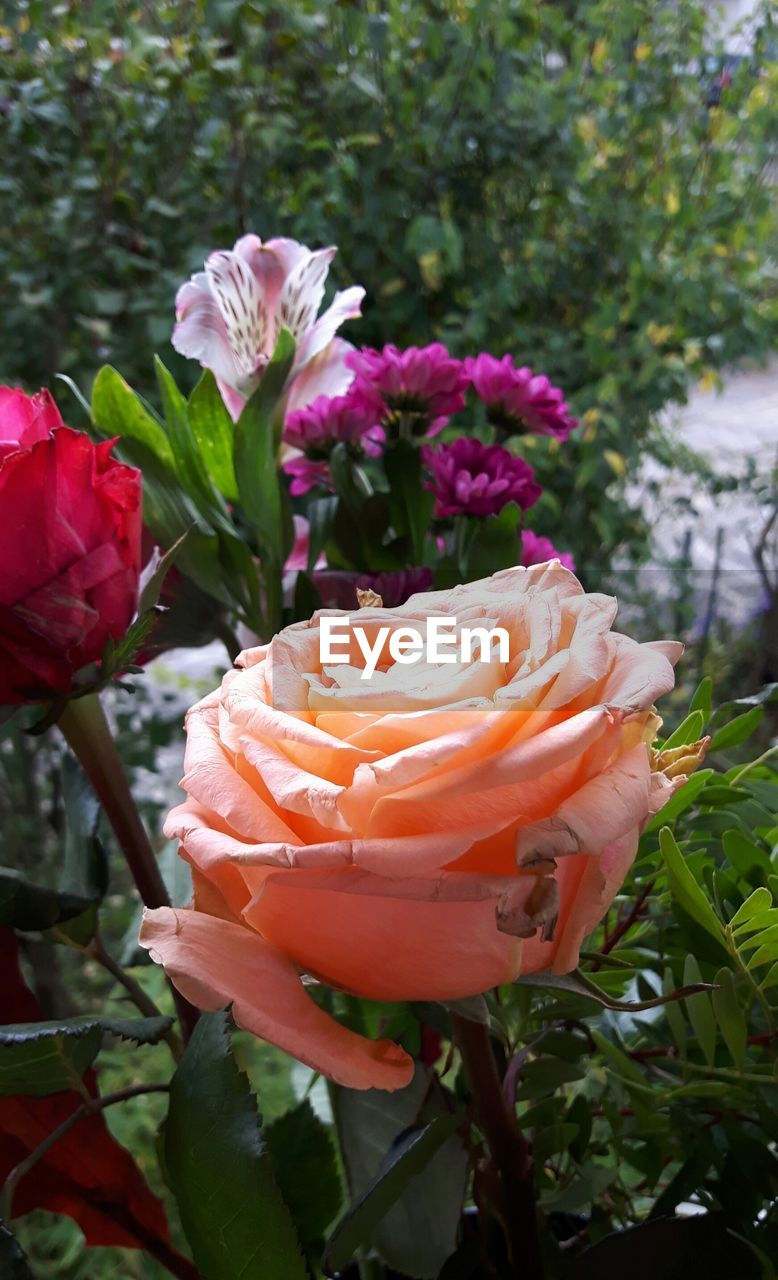 flower, beauty in nature, petal, fragility, nature, flower head, growth, freshness, plant, blooming, focus on foreground, day, outdoors, no people, pink color, rose - flower, close-up