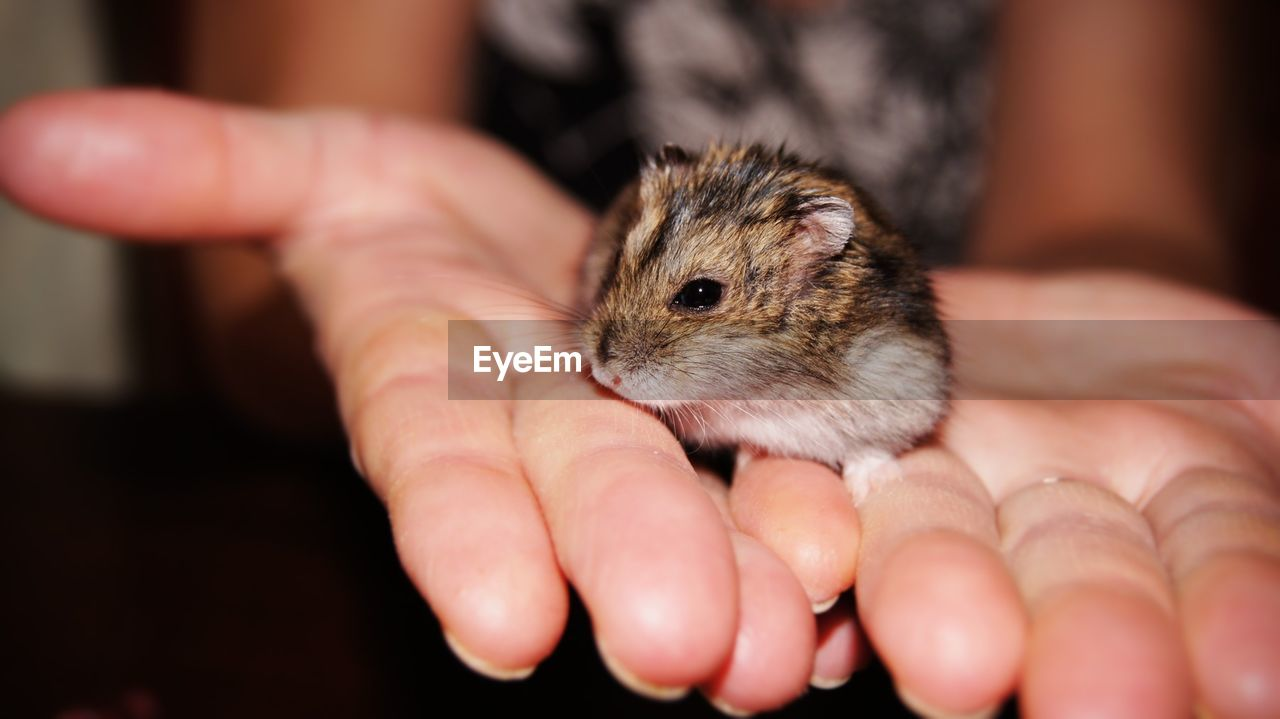 Close-up of cropped hand holding hamster