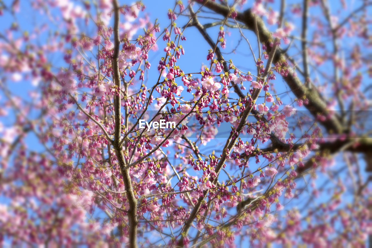 plant, tree, growth, branch, low angle view, beauty in nature, flowering plant, springtime, flower, blossom, fragility, day, no people, selective focus, nature, close-up, freshness, pink color, vulnerability, sky, cherry blossom, outdoors, cherry tree, spring