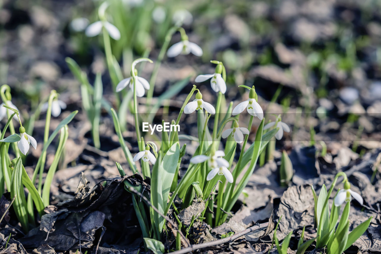 plant, growth, flower, fragility, flowering plant, vulnerability, beauty in nature, freshness, close-up, nature, land, snowdrop, green color, field, day, petal, flower head, focus on foreground, inflorescence, leaf, no people, outdoors, spring