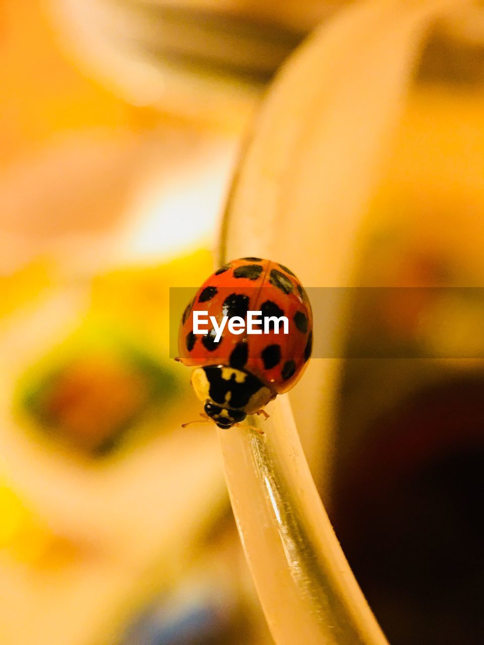 ladybug, beetle, invertebrate, spotted, insect, animal themes, one animal, focus on foreground, animal wildlife, close-up, animals in the wild, animal, plant, red, orange color, fragility, vulnerability, flower, selective focus, nature